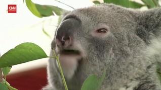 VIDEO: Kisah Pilu Populasi Koala di Australia yang Menurun
