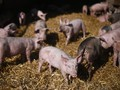 Harga Daging Babi di AS Bakal Super Mahal