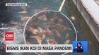 VIDEO: Cuan Bisnis Ikan KOI di Masa Pandemi