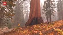 VIDEO: Kebakaran Hutan, Pohon Raksasa Sequioa 'Menolak Kalah'