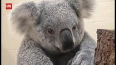 VIDEO: Terancam Punah, Koala Harus DIlestarikan