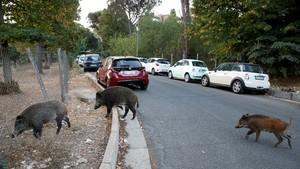 FOTO: Babi Hutan Kelaparan Berkeliaran di Kota Roma