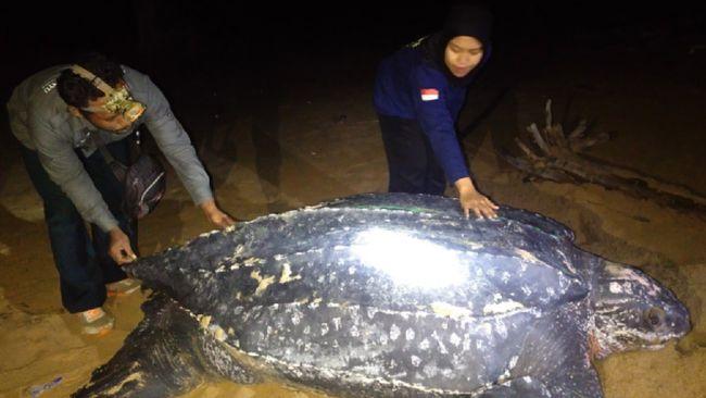 Kehadiran penyu belimbing yang dikenal sebagai penyu terbesar di dunia menjadi fenomena langka di pesisir pantai di Kecamatan Paloh, Sambas, Kalimantan Barat.