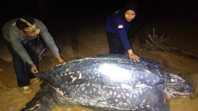 Penyu Terbesar di Dunia Muncul di Pantai Kalimantan Barat