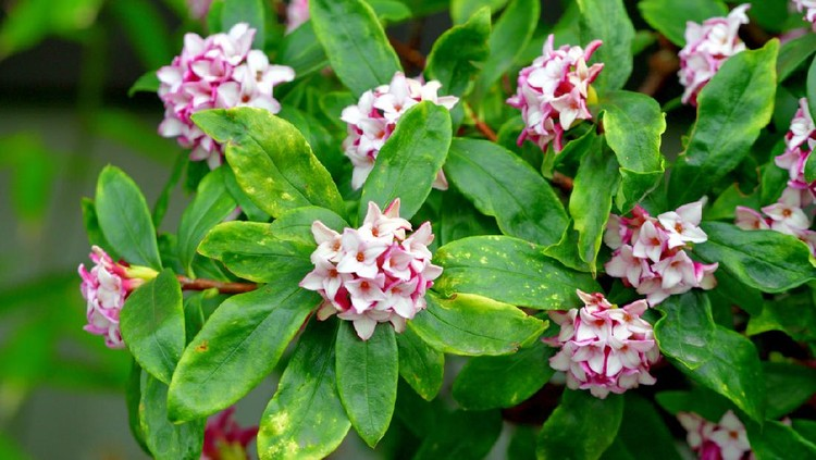Daphne odona, also called Japan daphne and daphne indica and native to Japan and China, is a compact evergreen shrub with dark green leaves and terminal umbels of very fragrant, reddish-purple, yellow or white flowers from late winter to early spring, often followed by colorful berries.