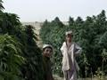 Ganja Jadi Andalan Taliban di Afghanistan Selain Opium