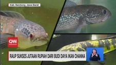 VIDEO: Raup Sukses Jutaan Rupiah Dari Budi Daya Ikan Channa