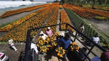 FOTO: Panen Marigold Jelang Festival Hari Kematian di Meksiko