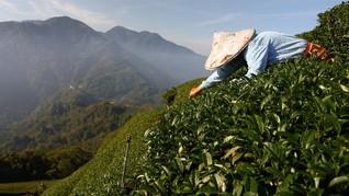 FOTO: Perubahan Cuaca Hantam Ladang Teh di Taiwan