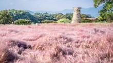 Lima Destinasi Wisata Melihat Rumput Pink di Korea Selatan