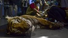 FOTO: Harimau Sumatera Tewas Terjerat Perangkap Liar