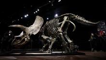 FOTO: Fosil Triceratops Terbesar di Dunia Laku Rp109 Miliar