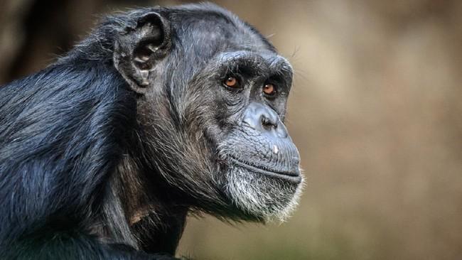Simpanse Savana Disebut 'Role Model' Teori Evolusi Manusia