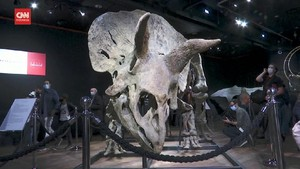 VIDEO: Fosil Big John Terbesar di Dunia Laku Rp109 Miliar