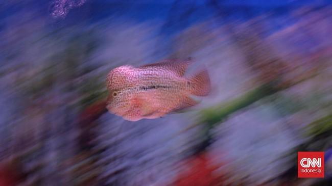 FOTO: Menikmati Indah dan Kilau Ikan Louhan