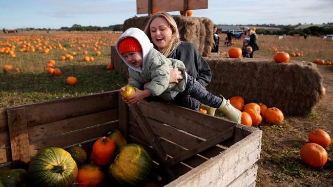FOTO: Keseruan Panen Labu di Inggris Jelang Halloween