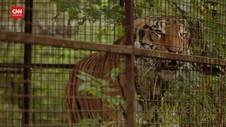 VIDEO: Harimau Yang Dieksploitasi Di Ukraina Pindah 'Rumah'