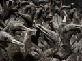 Flu Burung Bunuh Belasan Ribu Kormoran di Afrika Selatan