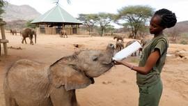 FOTO: Bayi-bayi Gajah Yatim Minum Susu Kambing di Kenya